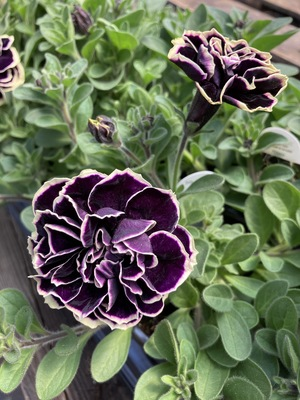 Petunia Midnight Gold